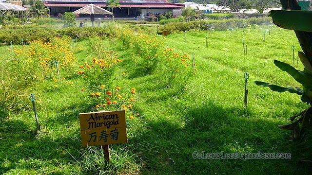 Zenxin Organic Farm african marigold