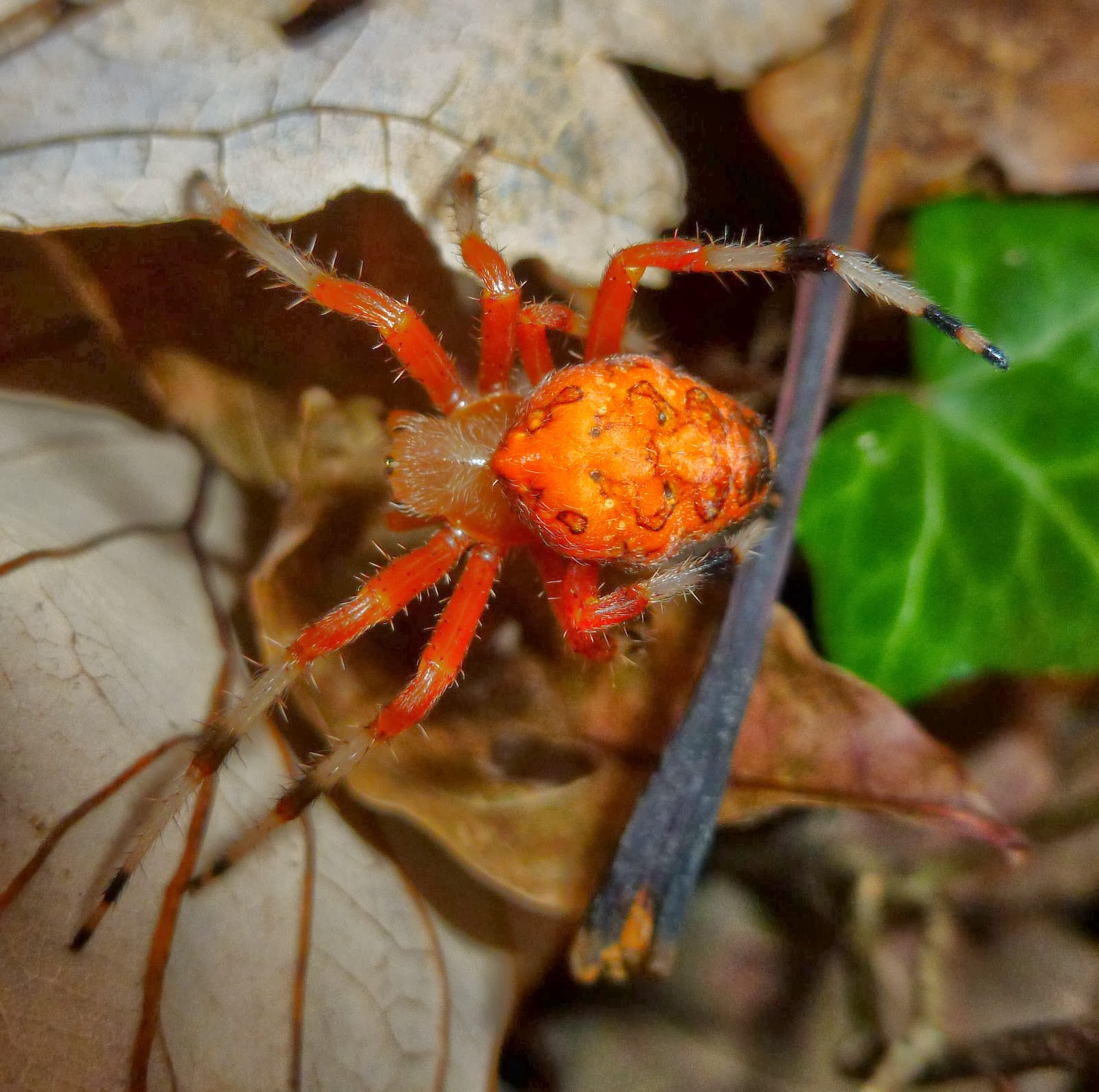 Search orange spiders at Spider ID Large orange spider pictures