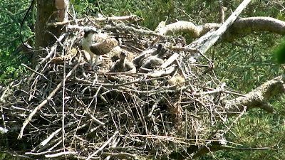 Our new osprey family