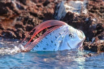 Oarfish ~ Animals World Oarfish 56 Ft