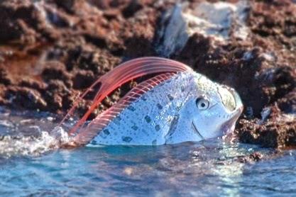 Oarfish ~ Animals World Oarfish 56 Ft