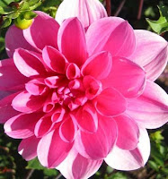 waterlily dahlia Madissen Jane