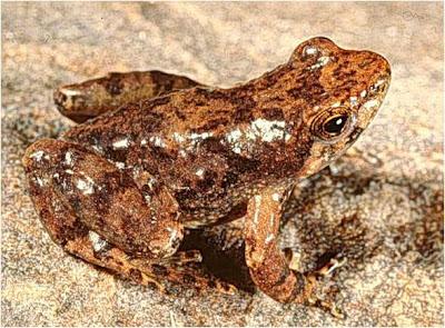ranas extintas Rana gloriosa de torrente Taudactylus diurnus