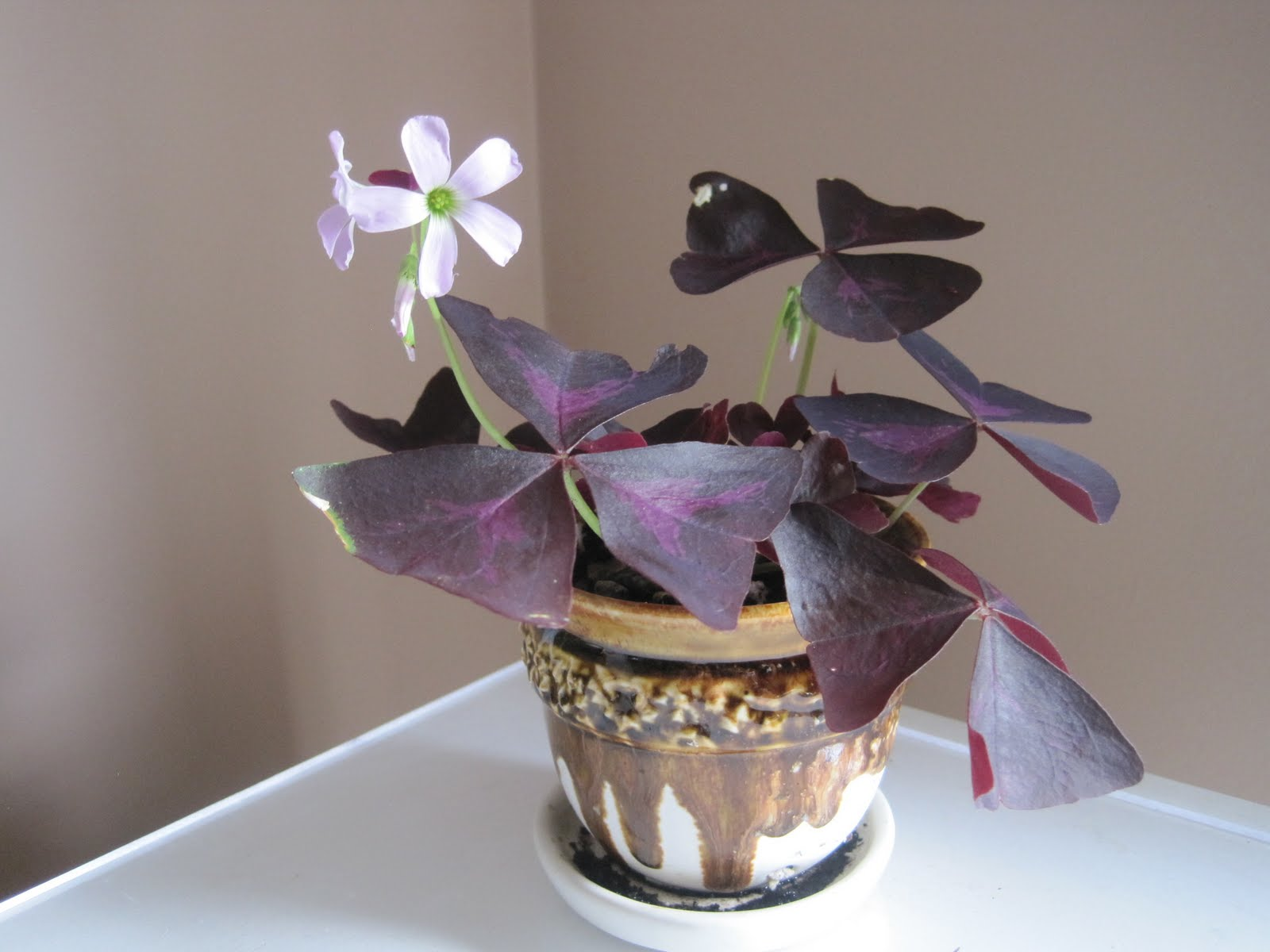 Ajantha's Garden/ Oxalic triangularis - Purple Shamrock