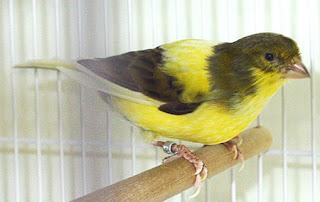 Burung Kenari - Solusi Penangkaran Burung Kenari -  Kode Ring Kenari Import Pada Negara Serbia