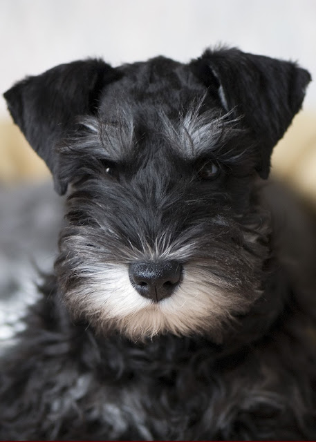 Health Problems in Miniature Schnauzer