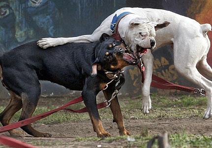 Dog Blog Dog Breed: Dogo Guatemalteco Dog Breed Picture