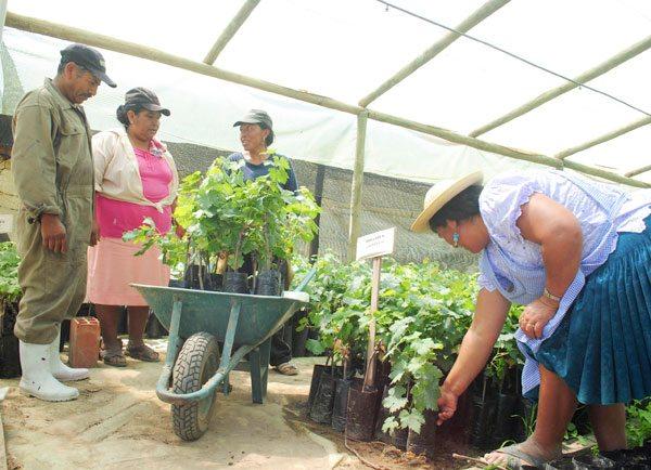 Producción de uva en Tarija supera los 20 millones de dólares