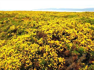 Toxos y xestas en Galicia en Primavera