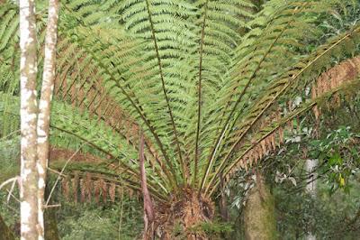 Manfern (Dicksonia antarctica)