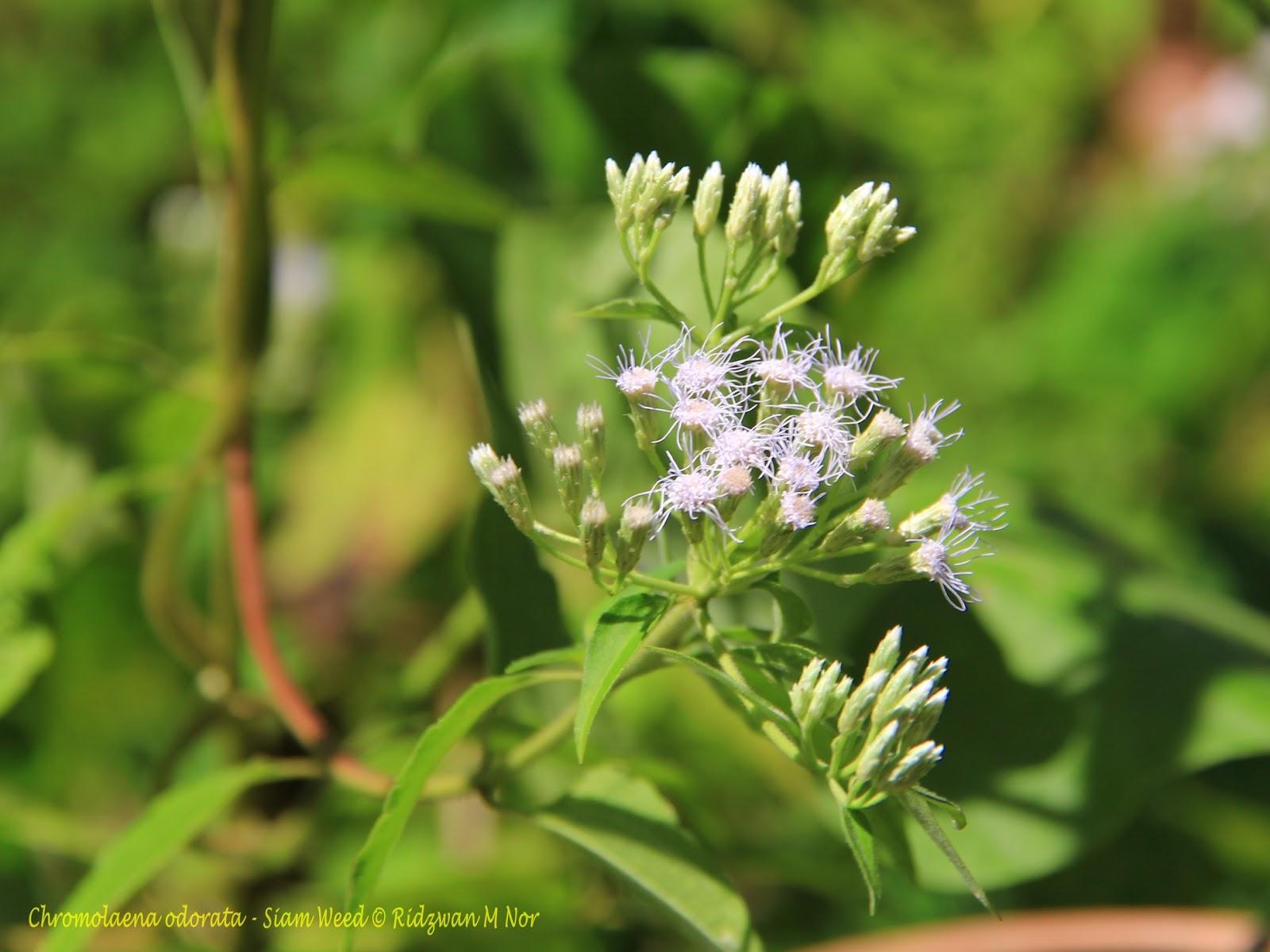Chromolaena odorata  Siam WeedChromolaena Odorata Leaf