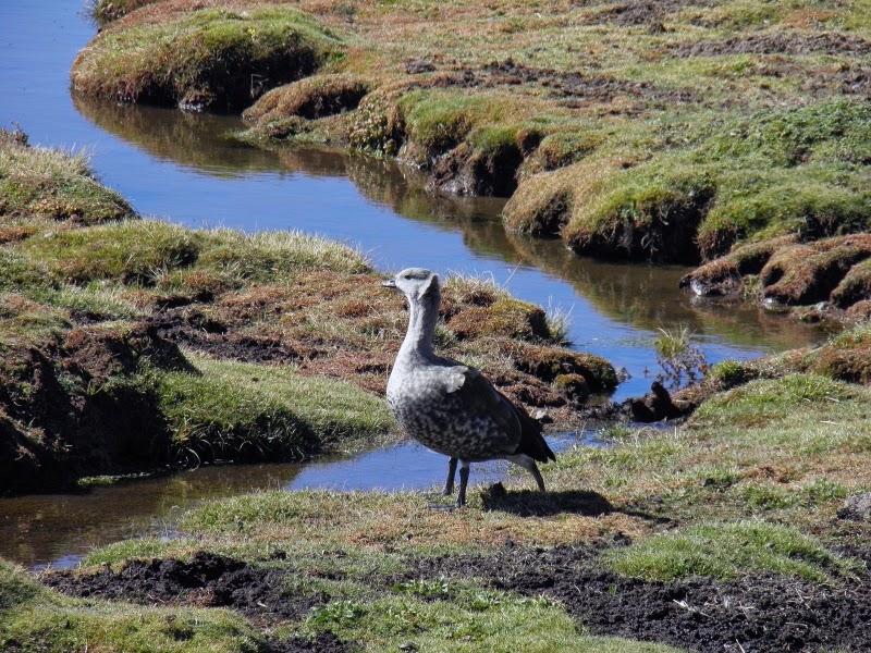 Blue-winged Geese (Cyanochen cyanoptera) on the Sanetti plateau