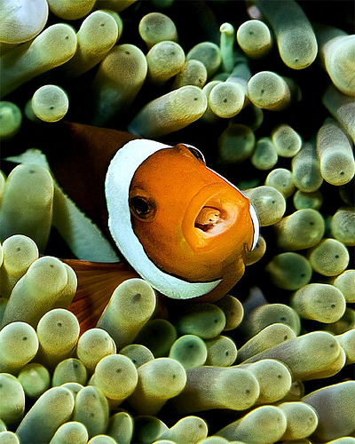 clown fish mouth moving fast in a relationship