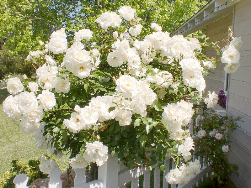 White Rose Bush Home Depot