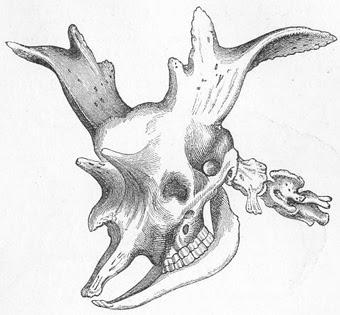 Sivatherium skull