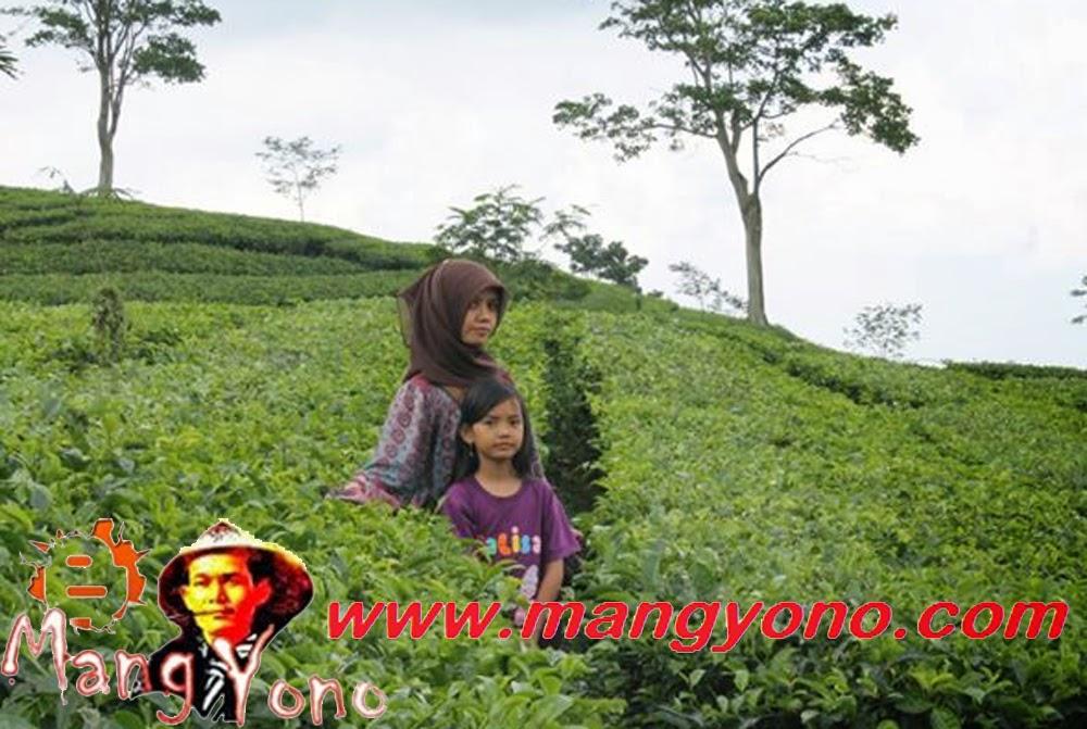 Wisata Perkebunan Teh Subang, Jawa Barat. Bisa berkeliling kebun teh sepuasnya.