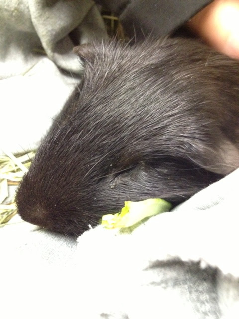 Ronnie the Guinea Pig Lived Happily and Died of Lymphoma