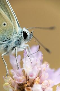 Para ampliar Polyommatus sp hacer clic