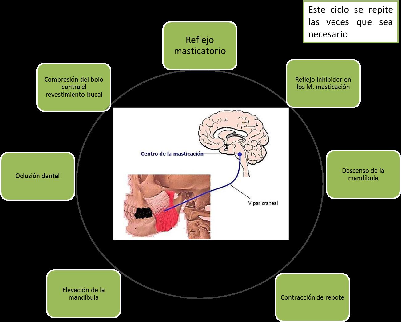 Sistema Gastrointestinal UVM