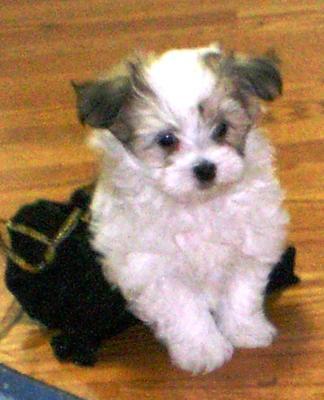 Yorkie Maltese Mix Dog Breeds