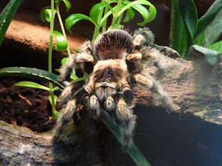 Tarantula Wallpapers