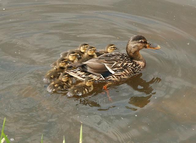 Stockentenmutter mit 6 Kleinen Entenkindern