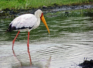 Buy print of Yellow Billed Stork