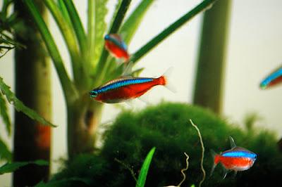 Neon czerwony - ryby akwariowe - zdjęcia 02