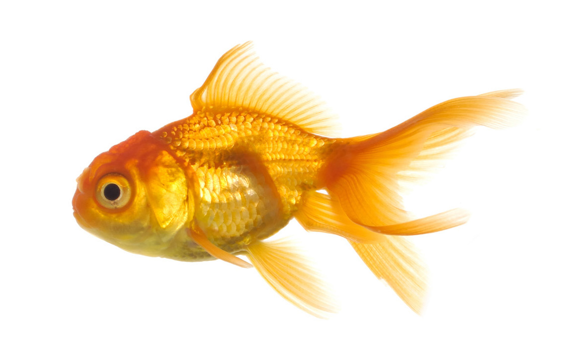 ... Pictures Free: Goldfish Beautiful New Hd Wallpapers And Pictures 2013