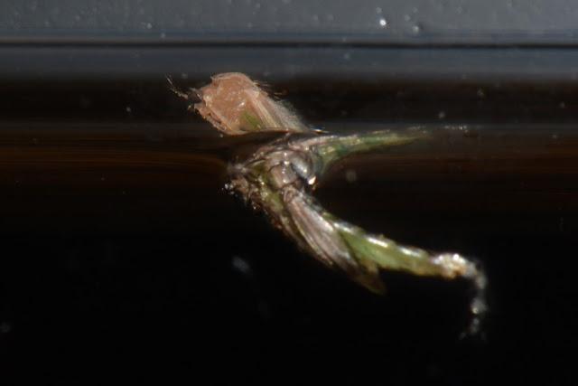 midge pupa hatching