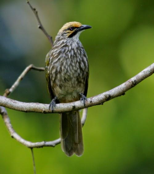 cara merawat burung cucak rowo agar cepat gacor bunyi
