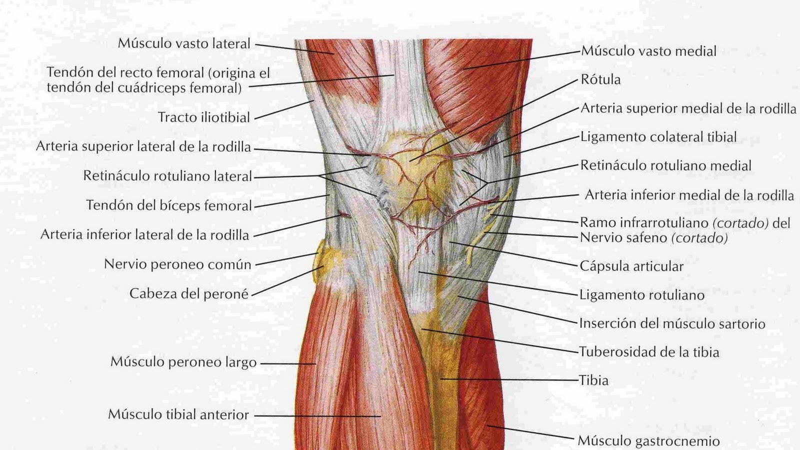 El rac de l 39 entrenament el genoll com l 39 enforteixo - Dolor en la parte interior de la rodilla ...