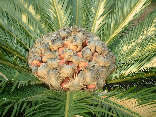 Amazing Gymnosperm Plant, Cycas Revoluta ,