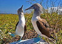 Blue Footed Boobies engaged in a mating dance