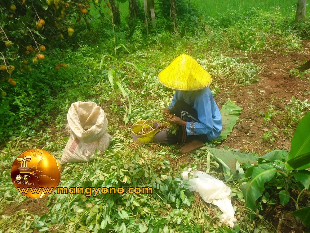 Cara Pemanenan Kacang Tanah