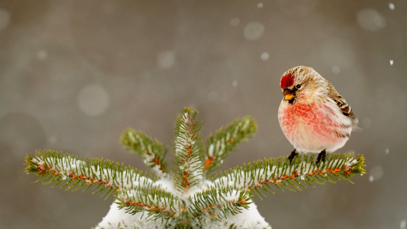 Common redpoll in Greater Sudbury, Ontario, Canada (© Don Johnston/Corbis) 418