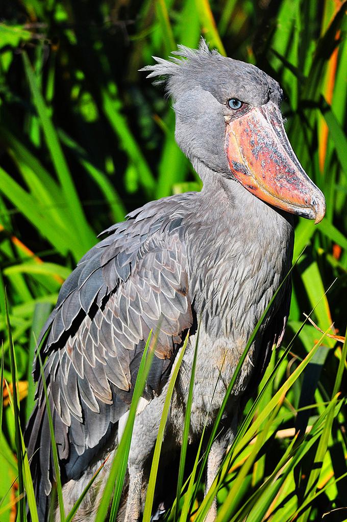Shoebill drops duck at San Diego Wild Animal Park | Shoebill Stork ...