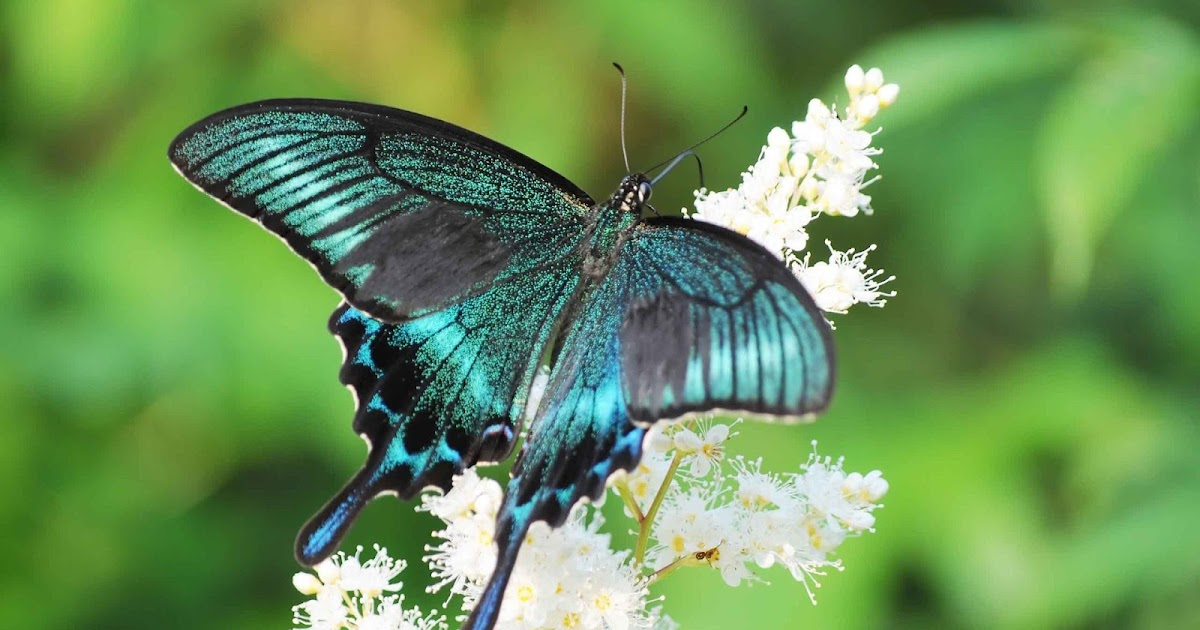 banco de fotos mariposas cola de golondrina   mariposas tigre