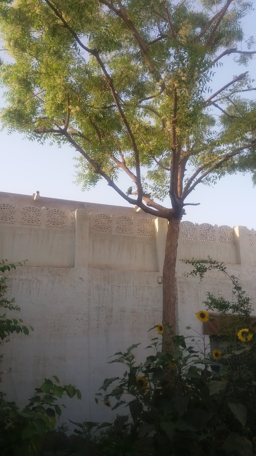 My Neem Tree