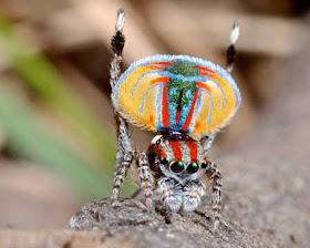 """""""عناكب الطاووس"""" أجمل عناكب العالم 1.jpg"""