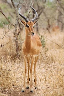 Impala-Ram