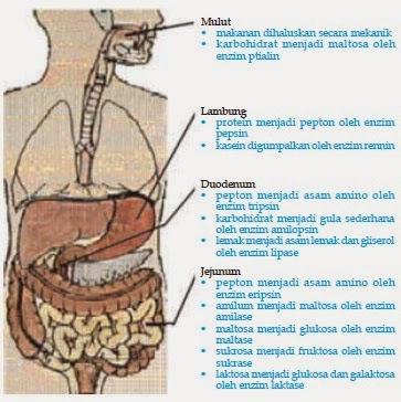 Kerja enzim pencernaan