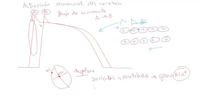 potencial de acción transmembrana, electrocardiograma