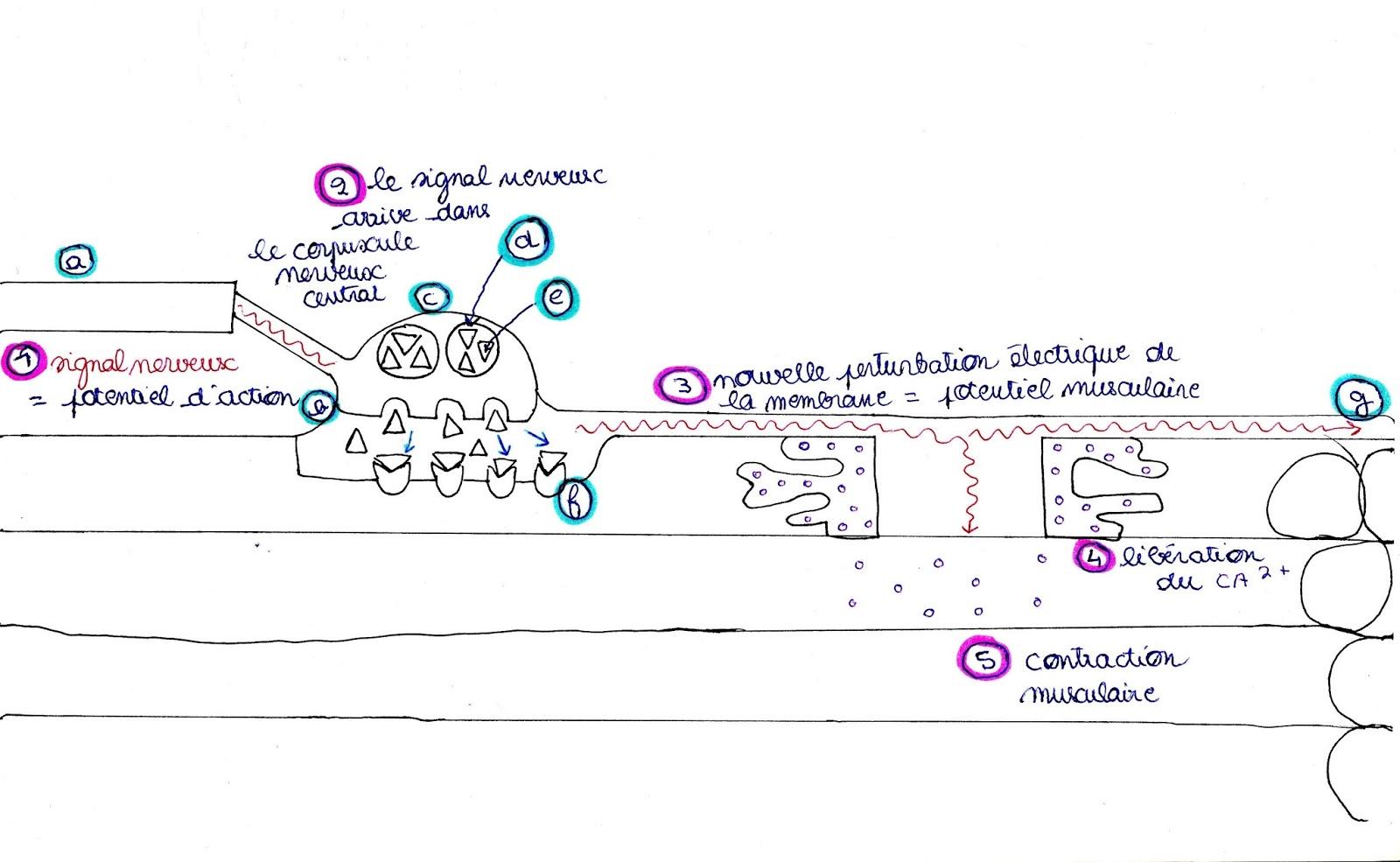 Physiologie de la plaque motrice