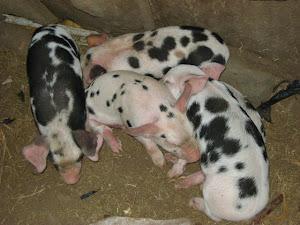 Lechoncitos de 4 dias de nacidos