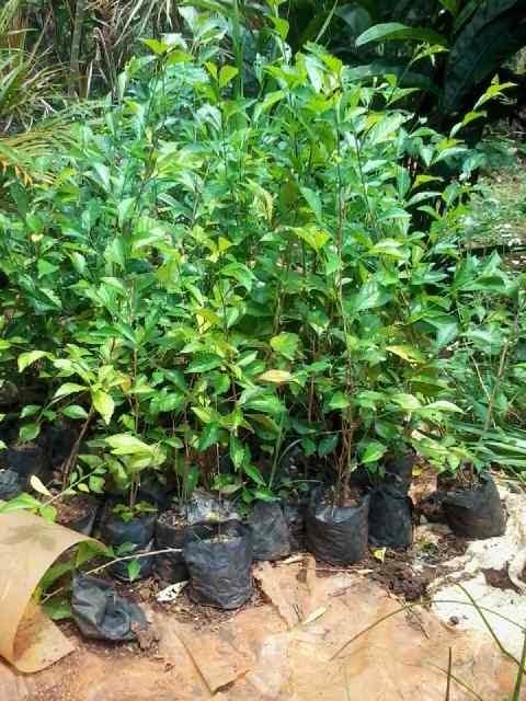 Pohon teh-tehan | Tukang taman | Renovasi taman | Dekoratif taman | Landscaping | Kolam minimalis | Saung