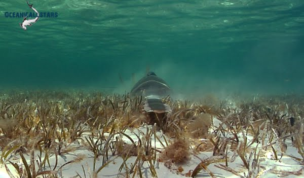an essay on the various species of sawfish