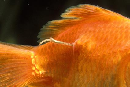vers ancre sur poisson rouge