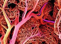 crean vasos sanguineos celulas madre