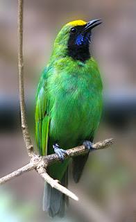 Habitat Burung Cucak Thailan (Cucak Hijau Kepala Kuning) Burung Endemik Sumatera, Kini Jadi Burung Spesies, Habitat Burung Cucak Thailan Burung Endemik Sumatera, Kini Jadi Burung Spesies